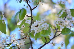 Abeja en las flores Imagen de archivo libre de regalías