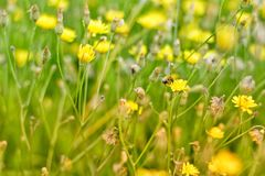 Abeja en las flores amarillas Imagen de archivo libre de regalías