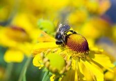 Abeja en las flores amarillas Fotos de archivo libres de regalías