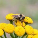 Abeja en las flores amarillas Imagenes de archivo