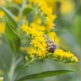Abeja en las flores amarillas Foto de archivo libre de regalías