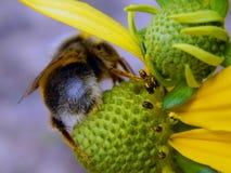 Abeja en las flores amarillas Foto de archivo