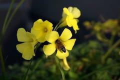 Abeja en las flores amarillas Fotos de archivo