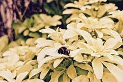Abeja en las flores amarillas Imagen de archivo
