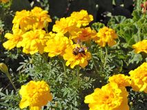 Abeja en las flores amarillas brillantes Fotos de archivo libres de regalías