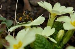 Abeja en las flores amarillas de la primavera Fotos de archivo libres de regalías