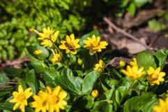 Abeja en las flores amarillas de la primavera Foto de archivo
