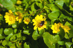 Abeja en las flores amarillas de la primavera Fotos de archivo