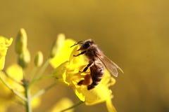 Abeja en las flores amarillas de la rabina Imagen de archivo