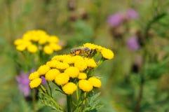 Abeja en las flores amarillas del tansy Fotografía de archivo libre de regalías