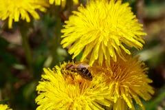Abeja en las flores amarillas salvajes Imagenes de archivo
