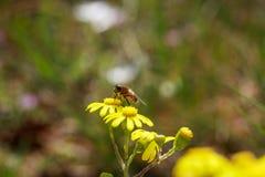 Abeja en las flores amarillas salvajes Foto de archivo