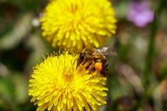 Abeja en las flores amarillas salvajes Foto de archivo libre de regalías