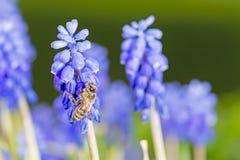 Abeja en las flores azules Imagen de archivo