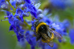 Abeja en las flores azules Fotos de archivo libres de regalías