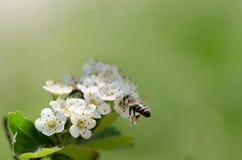 Abeja en las flores blancas Foto de archivo