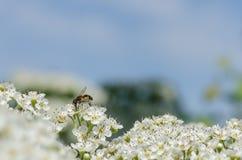 Abeja en las flores blancas Foto de archivo libre de regalías