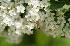 Abeja en las flores blancas Imagen de archivo libre de regalías