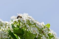 Abeja en las flores blancas Fotos de archivo