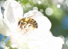 Abeja en las flores blancas Imagen de archivo