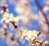 Abeja en las flores blancas de las flores de cerezo imagenes de archivo