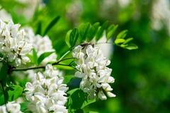 Abeja en las flores blancas de la acción Primer Foto de archivo libre de regalías