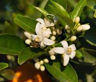 Abeja en las flores blancas del árbol anaranjado Foto de archivo