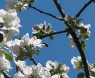 Abeja en las flores blancas del manzano Imagenes de archivo