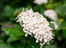 Abeja en las flores blancas siamesas del ixora Foto de archivo libre de regalías
