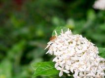Abeja en las flores blancas siamesas del ixora Fotos de archivo