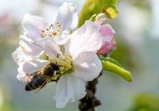 Abeja en las flores blancas y rosadas en colores pastel Imágenes de archivo libres de regalías
