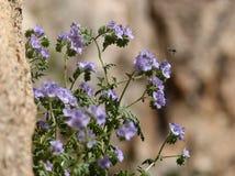 Abeja en las flores comunes de Phacelia Imágenes de archivo libres de regalías