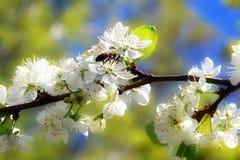 Abeja en las flores de cerezo Imagenes de archivo