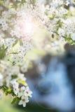 Abeja en las flores de cerezo Foto de archivo libre de regalías