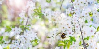 Abeja en las flores de cerezo Foto de archivo