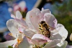 Abeja en las flores de cerezo Imagen de archivo libre de regalías