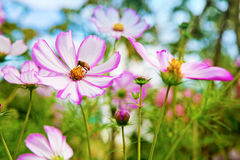 Abeja en las flores de Cosmea Imagenes de archivo