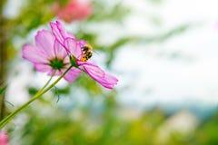 Abeja en las flores de Cosmea Imagen de archivo