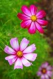 Abeja en las flores de Cosmea Foto de archivo libre de regalías