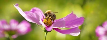 Abeja en las flores de Cosmea Fotografía de archivo