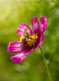 Abeja en las flores de Cosmea Fotos de archivo libres de regalías
