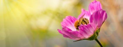 Abeja en las flores de Cosmea Foto de archivo