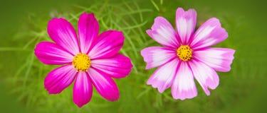 Abeja en las flores de Cosmea Imagen de archivo libre de regalías