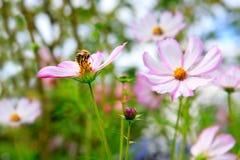 Abeja en las flores de Cosmea Fotografía de archivo libre de regalías