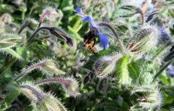 Abeja en las flores de la borraja Fotos de archivo