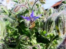 Abeja en las flores de la borraja Fotografía de archivo
