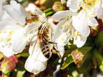Abeja en las flores de la cereza Imagen de archivo libre de regalías