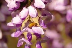 Abeja en las flores de la glicinia Imágenes de archivo libres de regalías