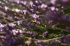 Abeja en las flores de la lavanda Fotografía de archivo libre de regalías