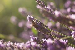 Abeja en las flores de la lavanda Imagen de archivo